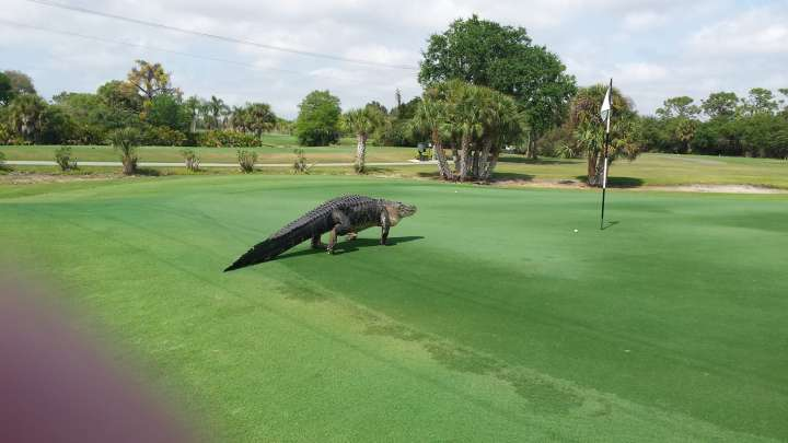 Alligator visits the golf course at Myakka Pines Golf Club