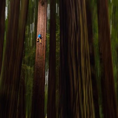 Chris Sharma climbs a redwood tree