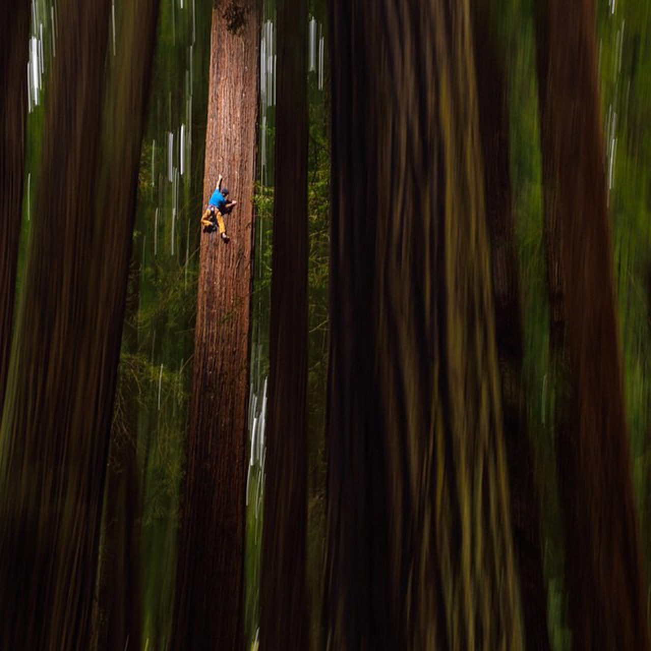 Chris Sharma climbs a redwood tree