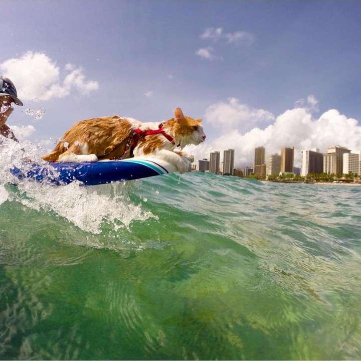 Kuli the surfing cat