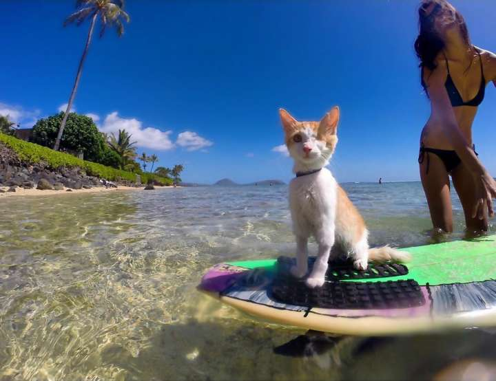 Kuli the surfing kitten
